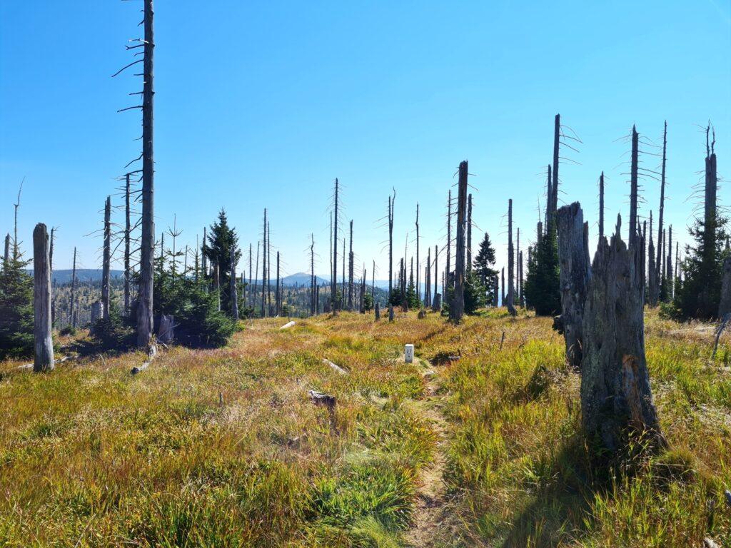 Gipfelrundtour Bayerischer Wald: Plattenhausenriegel mit Lusen im Hintergrund