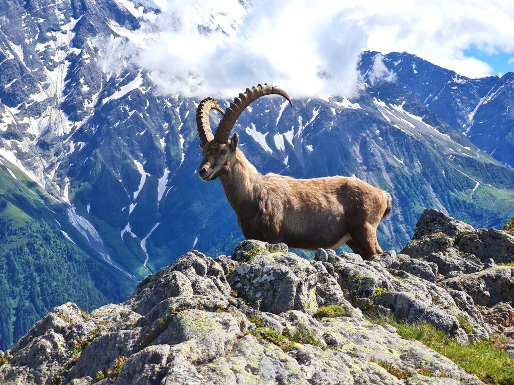 Grande Traversée des Alpes Teil 2: Steinbock vor Mont-Blanc